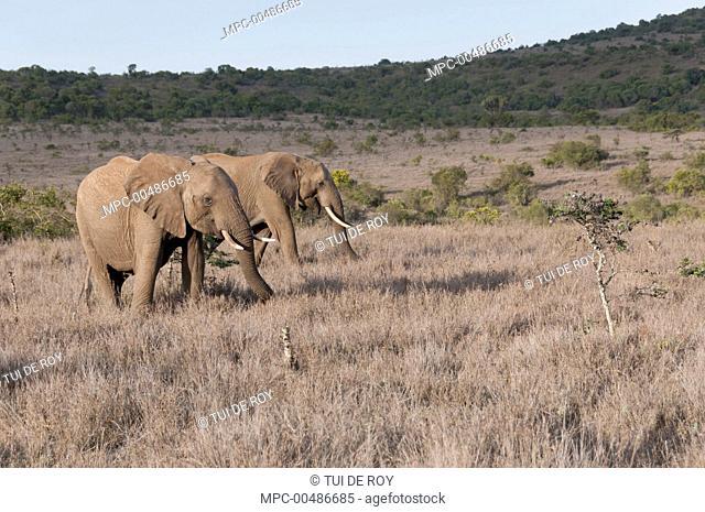 African Elephant (Loxodonta africana) pair in grassland, Borana Ranch, Kenya