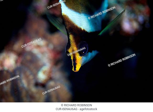 Underwater view of heniochus chrysostomus (pennant bannerfish) at Palmerston Atoll, Cook Islands