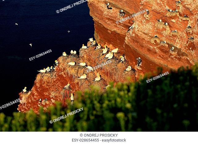 Northern gannet, Sula bassana, colony of sea birds, nesting time