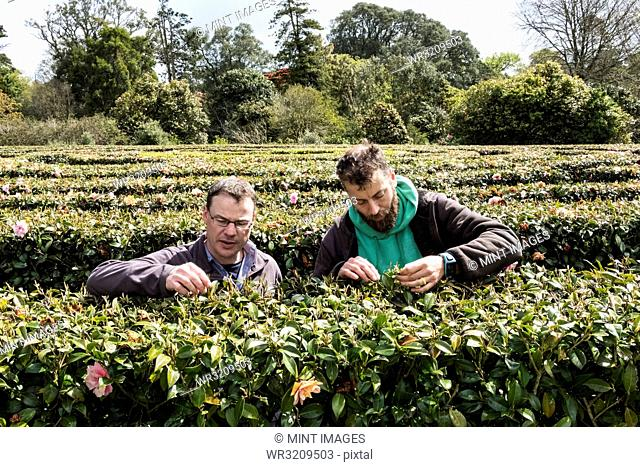 Two men standing outdoors in tea plantation, carefully picking tea leaves