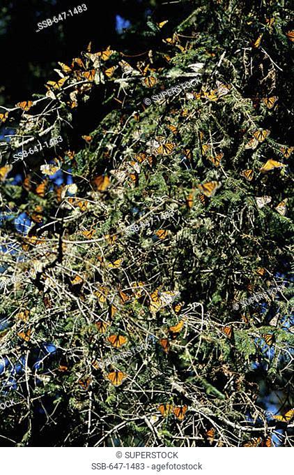 Monarch Butterflies (Danausplexippus) El Rosario Butterfly Sanctuary Angangueo Mexico
