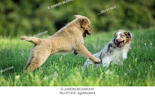 Australian Shepherd puppy and Golden Retriever puppy playing on a meadow. Germany
