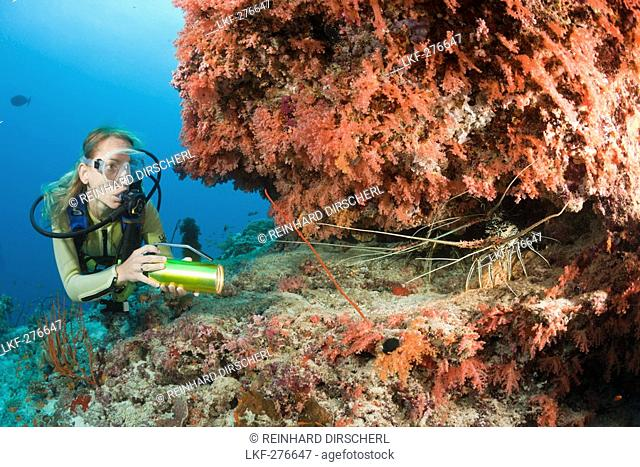 Diver finds Painted Rock Lobster, Panulirus versicolor, Maldives, Himendhoo Thila, North Ari Atoll