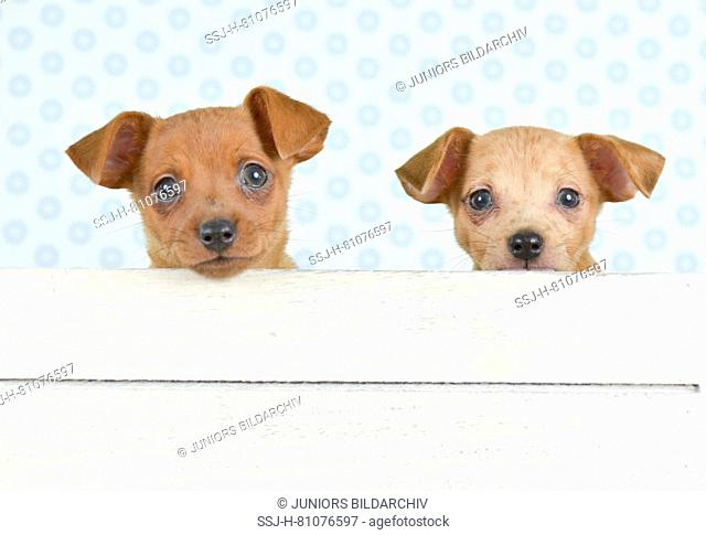 German Pinscher. Two puppies (8 weeks old) sitting in a white box. Studio picture. Germany