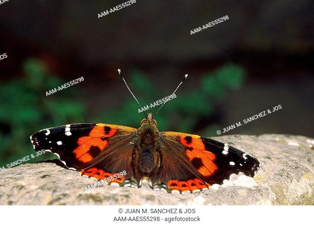 Canary Red Admiral (Vanessa vulcania). Teide volcano National Park, Tenerife island. Endemic species for Canary islands (SPAIN)     / 1.1 - 420
