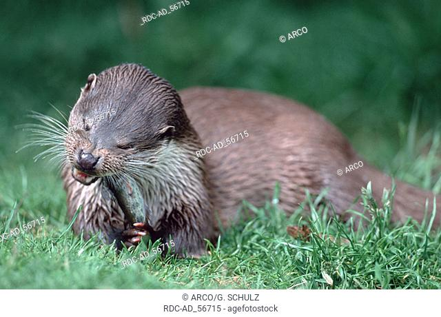European Otter eating trout Lutra lutra