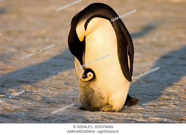 Emperor penguin (Aptenodytes forsteri) brooding chick Western Ross Sea colony, Antarctica