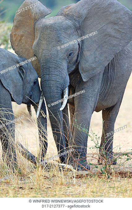 African elephant Loxodonta africana, cow with calf. South Luangwa National Park. Zambia