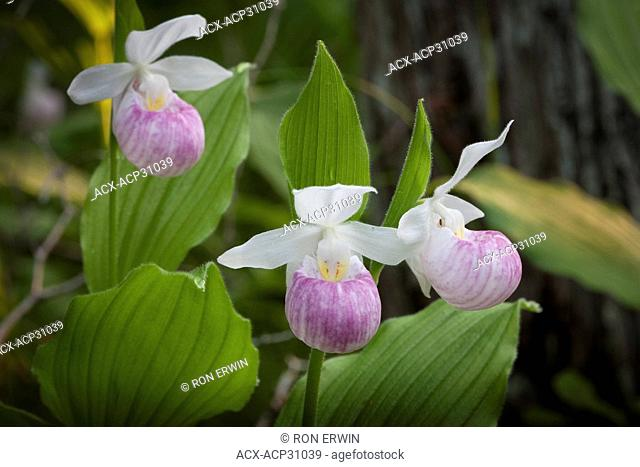 Showy or Queen Lady's Slippers cypripedium reginae in the Purdon Conservation Area - Mississippi Valley Conservation near Perth, Ontario, Canada