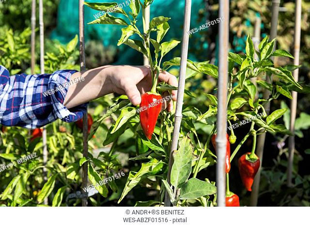 Hand of woman plucking red capsicum