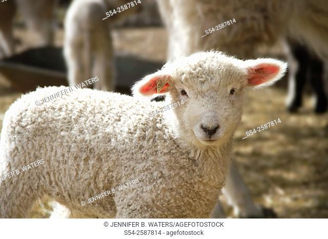 A lamb outdoors in the spring in rural Spokane County, Washington, USA