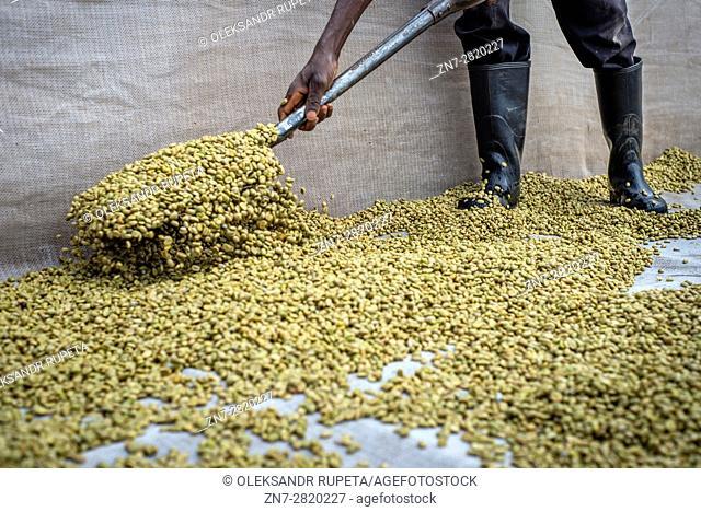 Coffee producing at Mubuyu farm, Zambia