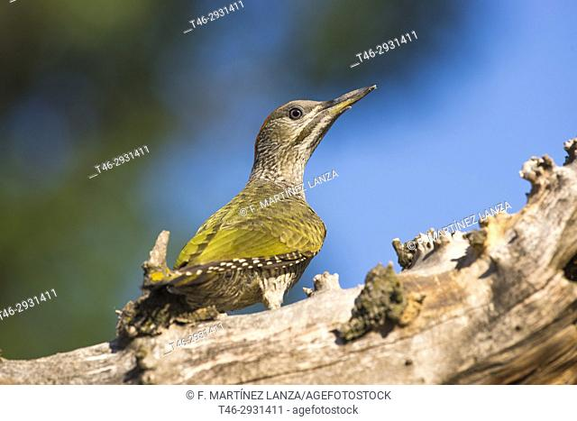 European green woodpecker (Picus viridis) . Photographed at the Polvoranca Park in Leganes Madrid