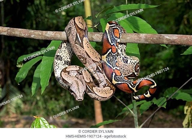 Brazil, Amazonas state, Amazon river basin, Boa constrictor