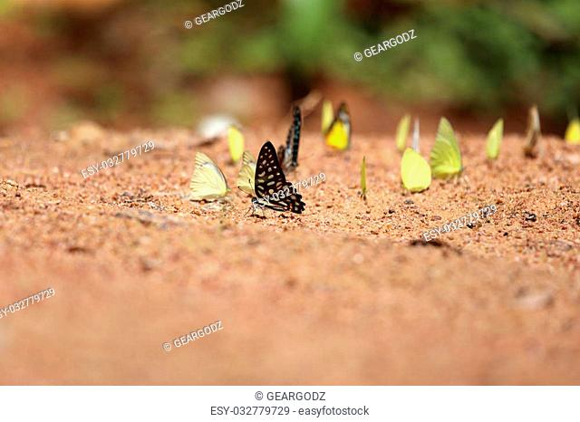 Group of butterfly on the ground (Common Jay, Small Grass Yellow)