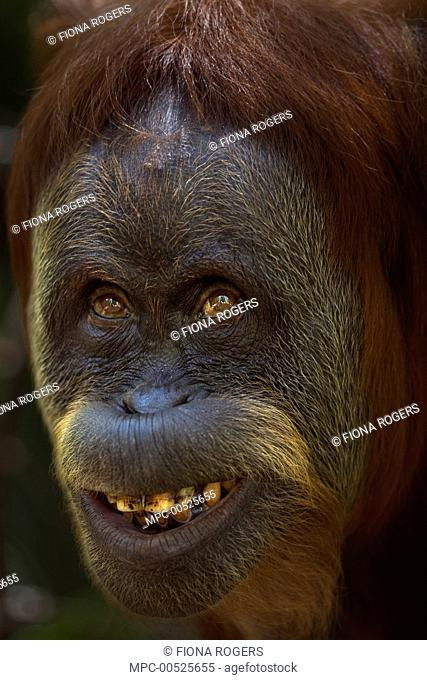 Sumatran Orangutan (Pongo abelii) thirty-six year old female, named Suma, displaying fear, Gunung Leuser National Park, Sumatra, Indonesia