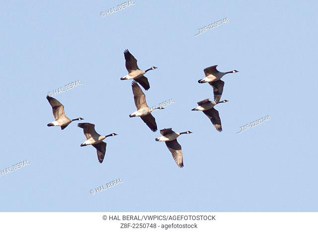 Flock of Canada Geese fly in formation.(Branta canadensis).Back Bay Reserve,California
