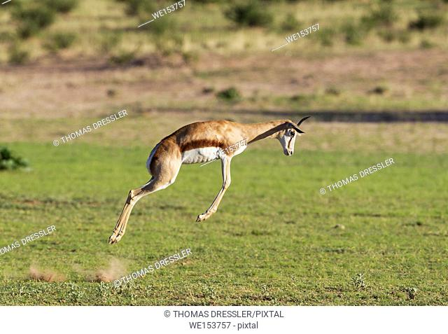 Springbok (Antidorcas marsupialis). Pronking female. During the rainy season in green surroundings. Kalahari Desert, Kgalagadi Transfrontier Park, South Africa