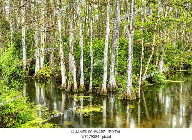 Cypress trees in swamp in Sweetwater Slough on Loop Road in Big Cypress National Preserve in Florida