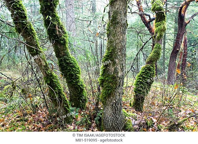 Garry Oak (Quercus garryana) trees on Mount Newton. Saanich, British Columbia, Canada, 24 March 2006