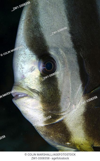 Blunthead Batfish (aka Longfin Batfish, Platax teira), Too Many Fish dive site, Pulau Koon, central Moluccas, Indonesia