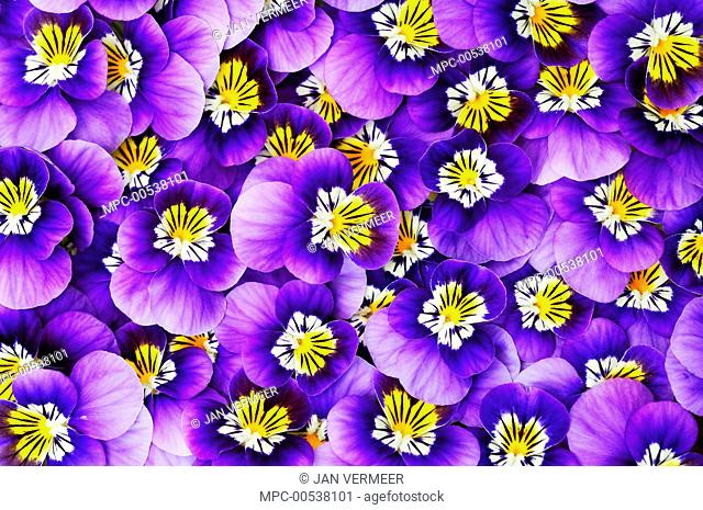 Violet (Viola sp) flowers