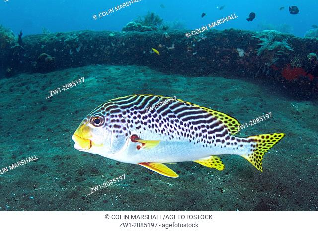 Diagonal-banded Sweetlips (Plectorhinchus lineatus) at USAT Liberty ship (US Army transport ship torpedoed by Japanese in WWII) at Tulamben in Bali in Indonesia