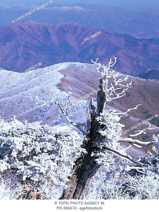 Snow-Covered Trees In Winter,Mt. Deogyusan National Park,Jeonbuk,Korea