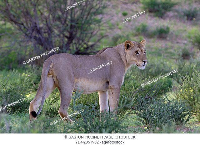 African lion (Panthera leo) -Female, Kgalagadi Transfrontier Park, Kalahari desert, South Africa/Botswana