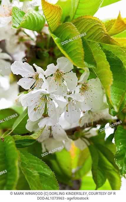 Prunus avium 'Sunburst' (Wild Cherry)