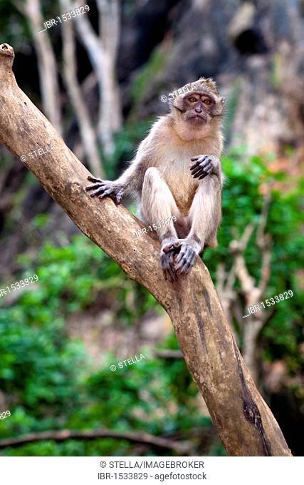 Tame Macaque (Macaca) in the cave temple Wat Suwan Kuha, Wat Tham, Wat Suwannakuha, monkey temple, near Phang Nga, Krabi province, Southern Thailand, Thailand