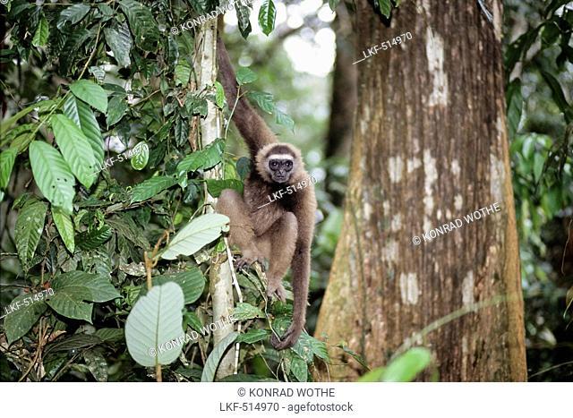East Bornean Gray Gibbon in rainforest, Hylobates funereus, Sabah, Borneo, Malaysia