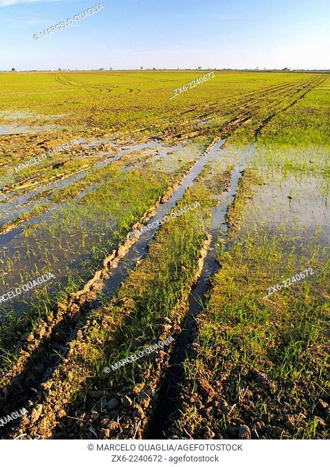 Germinating rice fields. Ebro River Delta Natural Park, Tarragona province, Catalonia, Spain