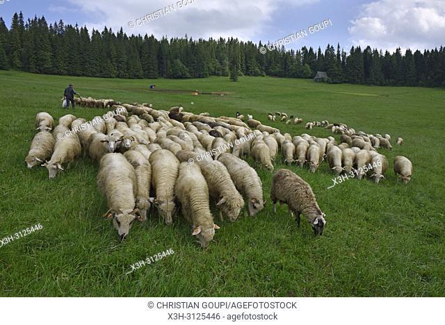 troupeau de moutons, Brzegi, environs de Zakopane, region Podhale, Massif des Tatras, Province Malopolska (Petite Pologne), Pologne
