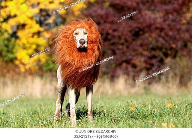 Weimaraner. Male standing, wearing lions mane. Germany