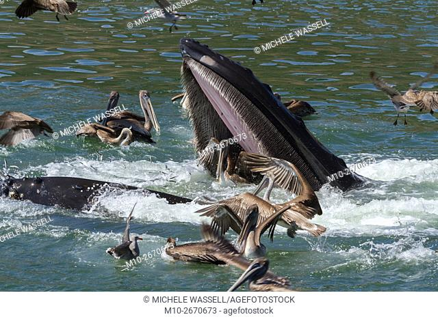 Lunge feeding Humpback Whale in Avila Beach, California, USA