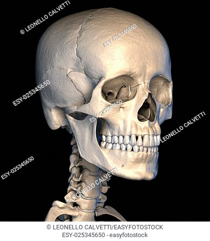 Very detailed and scientifically correct human skull. Perspective view, on black background. Anatomy image. Clipping path included