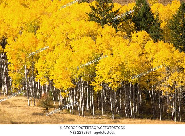 Aspen grove in autumn, Okanogan County, Washington