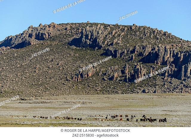 Goats grazing in the Bale Mountains National Park. Ethiopia