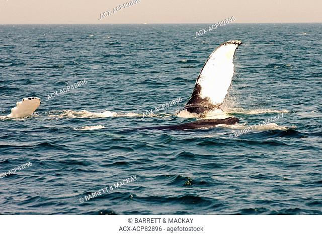 Humpback whale fluke, (Megaptera novaeangliae) off Grand Manan Island, Bay of Fundy, New Brunswick, Canada