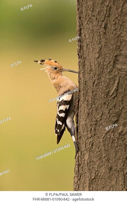Eurasian Hoopoe (Upupa epops) adult, perched on trunk at nest hole, Hortobagy N.P., Hungary, May