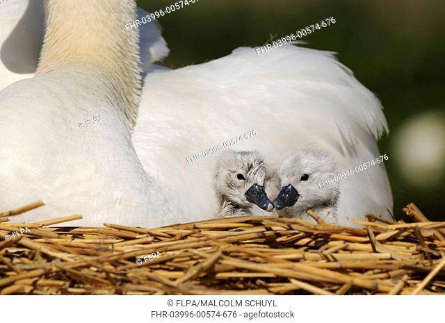 Mute Swan Cygnus olor two cygnets with adult, at nest, Abbotsbury, Dorset, England