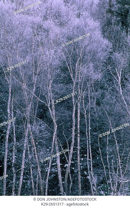 Frosted birch grove along Junction Creek in early winter, Lively, Ontario, Canada