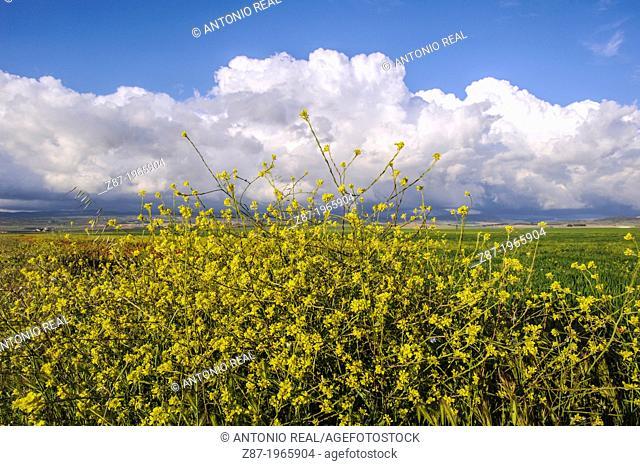 Wildflowers and cloud formation. Almansa. Province of Albacete. Spain