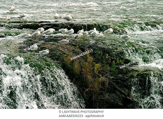 Ring-billed gulls on waterfall (Larus delawarensis) Niagara River before falls, NY