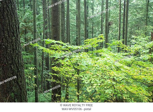 Rainforest in Lynn Canyon Park, Vancouver, British Columbia, Canada