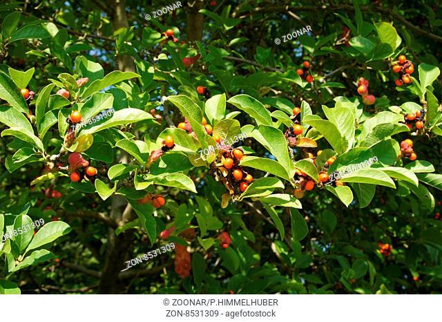 Magnolia x loebneri, Loebners Magnolie, fruchtend