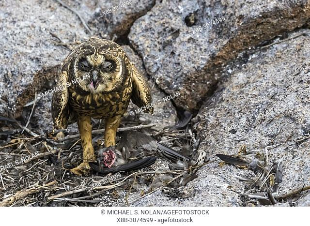 Galápagos short-eared owl, Asio flammeus galapagoensis, with recent kill on Genovesa Island, Galápagos, Ecuador