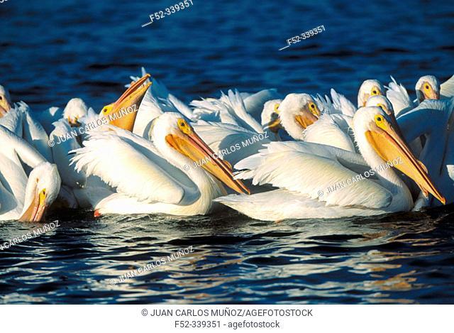 White Pelican (Pelecanus erythrorhynchos). USA
