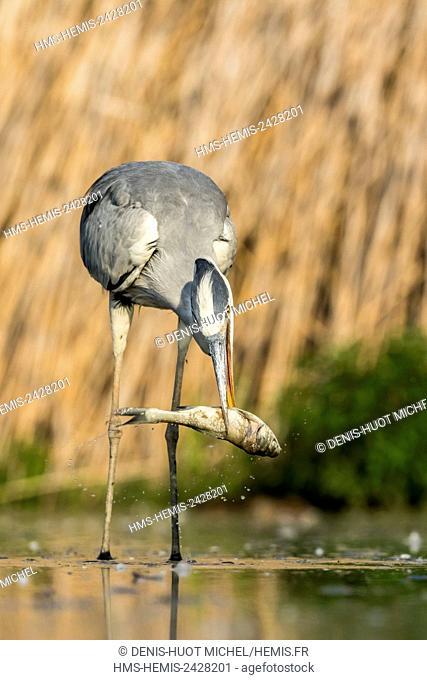 Hungary, Csongrad, Kiskunsagi National Park, Pusztaszer, Grey Heron (Ardea cinerea), fishing a catfish